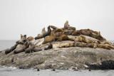 Sea Lion, Stellar-070510-S Marble Island, Glacier Bay NP, AK-#0462.jpg
