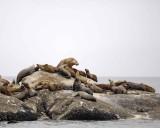 Sea Lion, Stellar-070510-S Marble Island, Glacier Bay NP, AK-#0470.jpg