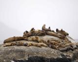 Sea Lion, Stellar-070510-S Marble Island, Glacier Bay NP, AK-#0484.jpg
