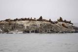 Sea Lion, Stellar-070510-S Marble Island, Glacier Bay NP, AK-#0517.jpg