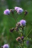 IMG_0388 Chardon des champs - Canada thistle - Cirsium arvense