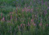 IMG_0398 Salicaires le matin - purple loosestrife