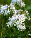 IMG_0482 Saponaire officinale - Soapwort - Saponaria officinalis