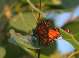 IMG_0488 Monarque - monarch