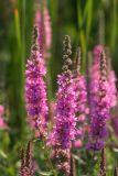 IMG_0550 Salicaire - Purple loosestrife