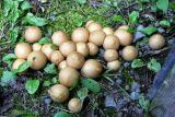 IMG_4546 Pear-shaped puffball - Lycoperdon pyriforme.jpg