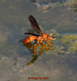 water striding wasp / hornet