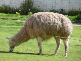 Llama - did you know that's pronounced 'yama'?