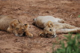 A pride of young lion cubs