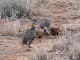 Yellow neck spurfowl