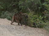 Olive baboon carrying a youngster