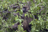 Olive baboon in the tree