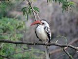 Red bill hornbill