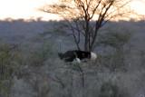 # 5 of the Samburu Five - the Somali ostrich