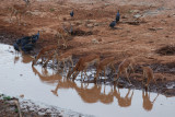 Impala and guineafowl drinking from the Ewaso Nyiro River