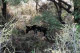 Wild dogs - a very rare sighting!