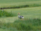 Crowned crane on the grounds at MKSC