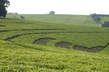 Tea is planted all along the gentle rolling hillsides