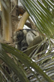 Red Colobus monkey, you can see this one a teeny bit!