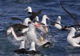 Pelagic Birds of South Africa