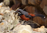 Birds of South Africa - Western Cape