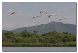 Pelicanos volando en el lago Abaya  -  Pelicans over lake Abaya