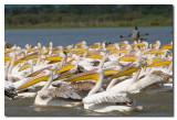 Pelicanos y pescador  -  Pelicans and fisherman
