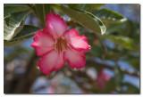 Rosa del desierto  -  Adenium obesum  -  Desert Rose