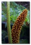 Plantas en Puyuhuapi  -  Plants in  Puyuhuapi