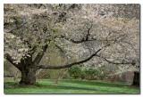 Arbol florido  -  Tree in bloom