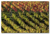 Viñedos en Otoño  -  Vineyard in Autumn
