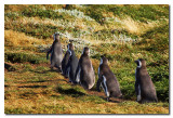 Los pinguinos vuelven del mar  -  Pinguins coming back from the sea