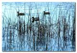 Patos y los juncos  -  Ducks and the reeds