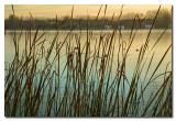 Juncos en el lago -  Reeds on the lake