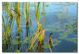 Juncos y Lirios de agua  -  Reeds and water  lilies