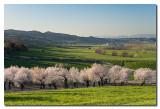 Almendros en flor  -  Flowered almond trees