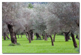 Olivos  -  Olive tree orchard
