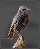 Spreeuw - Starling