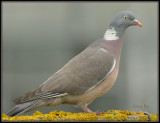 Houtduif - Wood Pigeon, Ring Dove