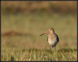Grutto - Black-tailed Godwit