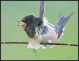 Zwallow - Swallow