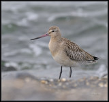 Rosse grutto - Bar-tailed Godwit