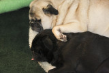Puggy  love...