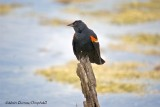 Carouge - Red Winged Blackbird