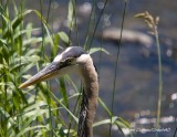Grand Héron - Great Blue Heron - 003