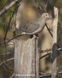 Tourterelle - Mourning Dove