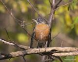 Merle d'Amérique Mâle - Male American Robin