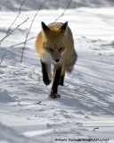 Renard Roux - Red Fox 003