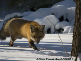 Renard Roux - Red Fox 004