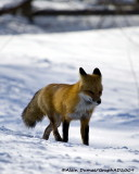Renard Roux - Red Fox 006